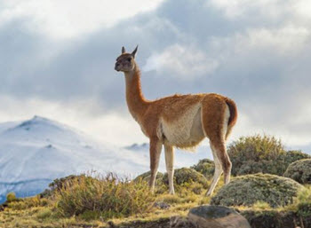 andes animals