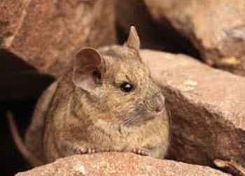 chinchilla rat