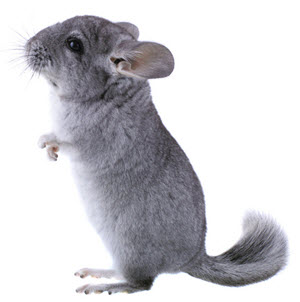 chinchilla chinchilla care