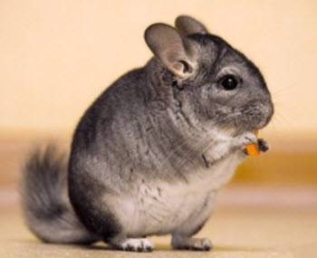 short tailed chinchilla